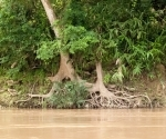 A tree with roots hugging the riverbank