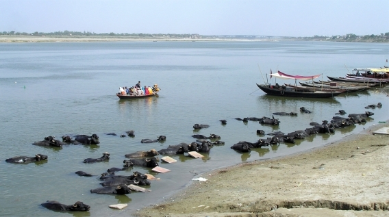 Buffaloes having a dip beside the morning washboards
