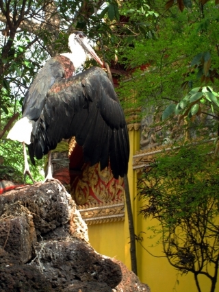 The lesser adjutant stork that guards Wat Simuang's Khmer era shrine