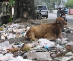urban-calf