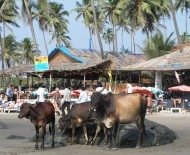 Cows on Vagator's Little Beach
