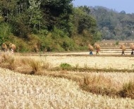 Rice paddies during the harvest